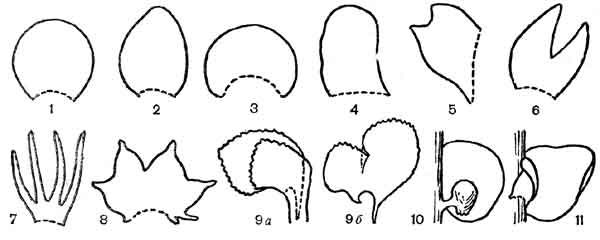 Форма и расчленение листьев представителей подкласса юнгерманниевых