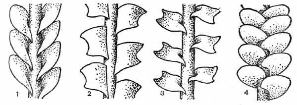 Характер прикрепления листьев к стеблю у представителей подкласса юнгерманниевых