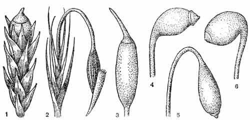 Коробочка бриевых мхов