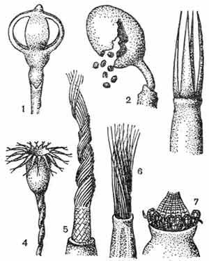 Коробочки и перистомы андреэевых и бриевых мхов