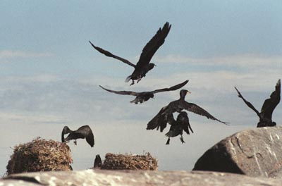 Phalacrocorax carbo (Cormorant)