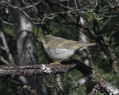 Phylloscopus trochilus (Willow Warbler)