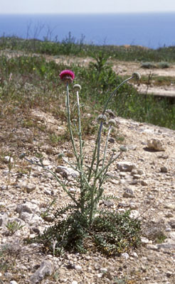 Family Asteraceae SP.