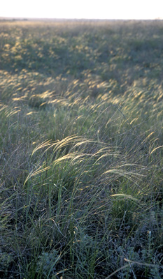 Genus Stipa SP.