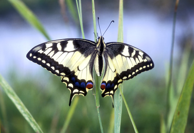 Papilio machaon (Махаон)