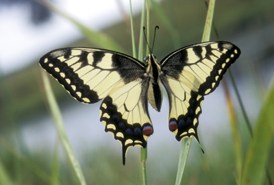 Papilio machaon (������)