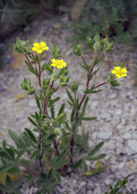 Potentilla astracanica (Лапчатка астраханская)
