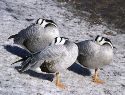 Eulabeia indica (Bar-headed Goose)