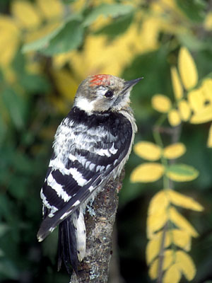 Dendrocopos minor (Lesser Spotted Woodpecker)