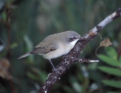 Sylvia curruca (Lesser Whitethroat)
