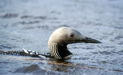 Gavia arctica (Black-throated Diver)