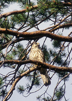 Falco columbarius (Merlin)