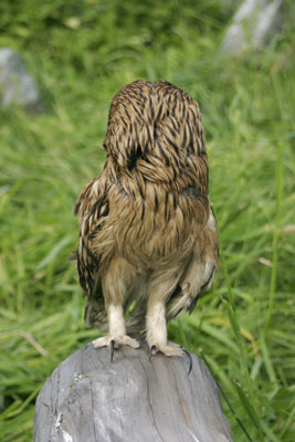 Asio flammeus (Short-eared Owl)