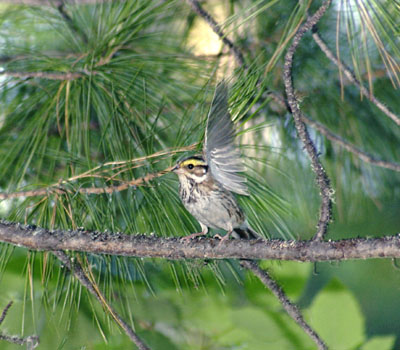 Emberiza chrysophrys (Yellow-browed Bunting)