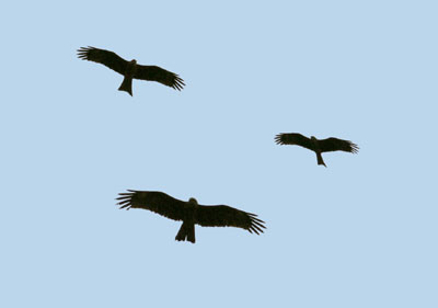 Milvus migrans (Black Kite)