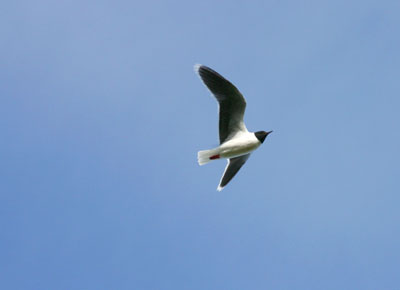 Larus minutus (Little Gull)