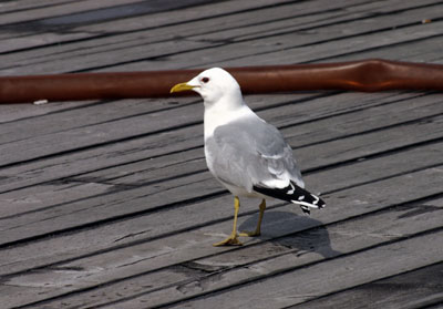 Larus canus (Common Gull)