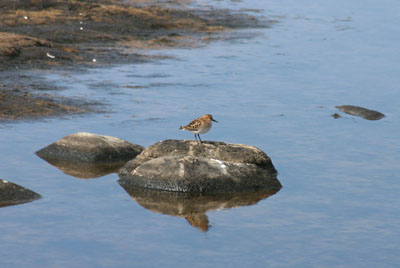 Calidris minuta (Little Stint)