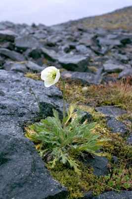 Genus Papaver SP.