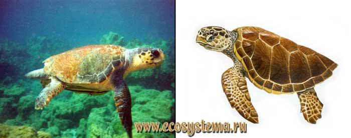 Логгерхед, головастая черепаха - Caretta caretta