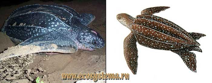Кожистая черепаха - Dermochelys coriacea