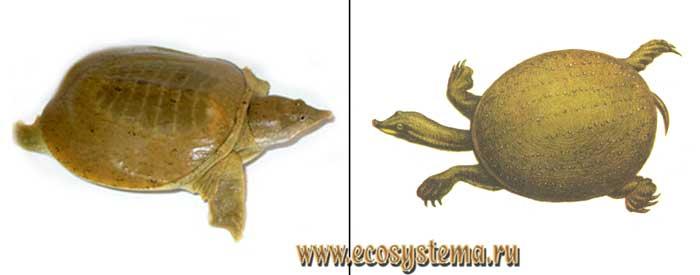 Дальневосточная черепаха - Pelodiscus sinensis