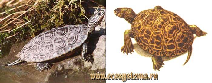 Каспийская черепаха - Mauremys caspica