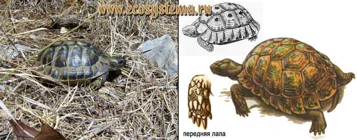 Средиземноморская черепаха - Testudo graeca