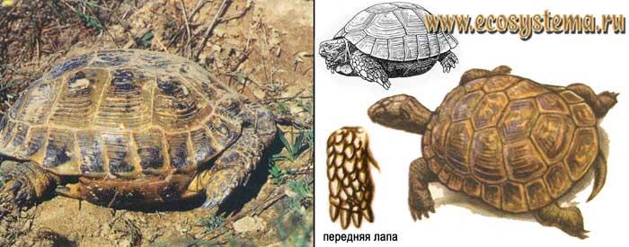 Среднеазиатская черепаха - Agrionemys horsfieldii