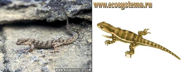 Гладкий геккончик - Alsophylax laevis