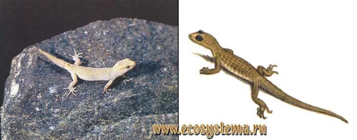 Панцирный геккончик - Alsophylax loricatus