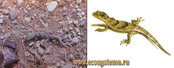 Пискливый геккончик - Alsophylax pipiens