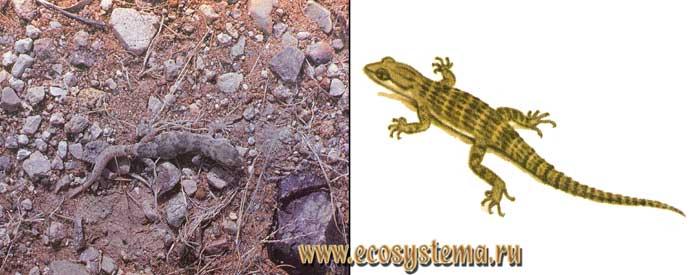 Тяньшанский геккончик - Alsophylax tokobajevi