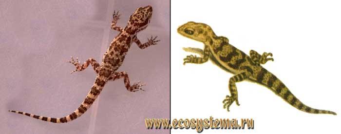 Бугорчатый геккончик - Bunopus tuberculatus