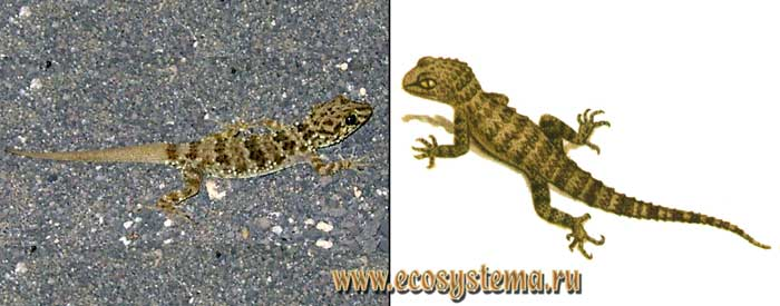 Каспийский геккон - Cyrtopodion caspius