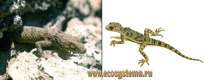 Туркестанский геккон - Cyrtopodion fedtschenkoi