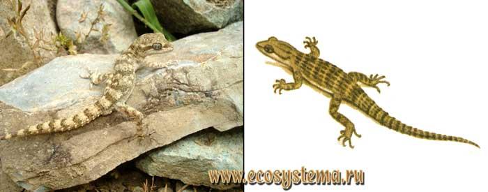 Средиземноморский геккон - Cyrtopodion kotschyi