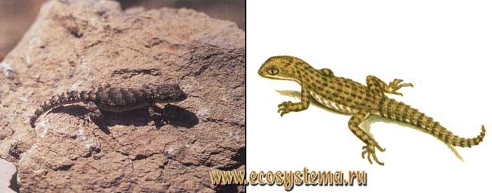 Колючехвостый геккон - Cyrtopodion spinicauda