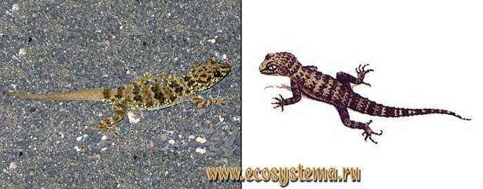 Туркменский геккон - Cyrtopodion turcmenicus