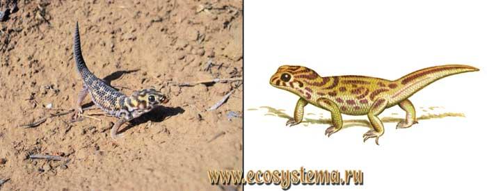 Сцинковый геккон - Teratoscincus scincus