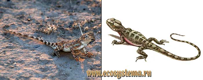 Руинная агама - Trapelus ruderatus