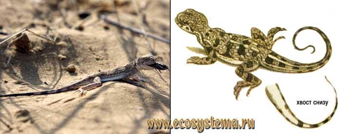 Круглоголовка-вертихвостка - Phrynocephalus guttatus