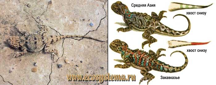 Такырная круглоголовка - Phrynocephalus helioscopus