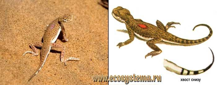 Песчаная круглоголовка - Phrynocephalus interscapularis