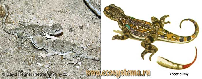 Сетчатая круглогловка - Phrynocephalus reticulatus