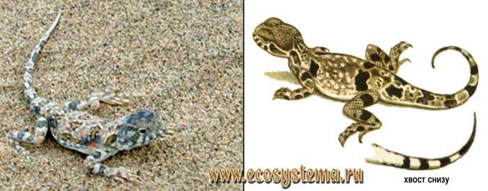 Пестрая круглоголовка - Phrynocephalus versicolor