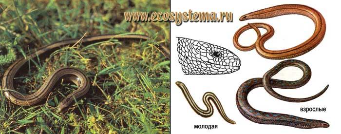 Веретеница ломкая - Anguis fragilis