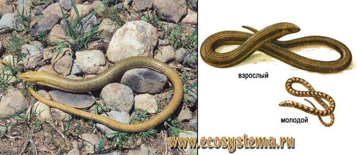 Желтопузик, или глухарь - Pseudopus apodus