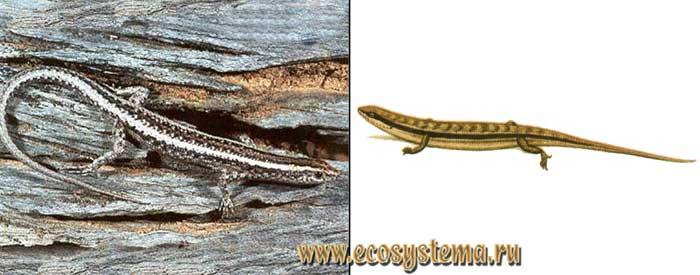 Полосатый гологлаз - Ablepharus bivittatus