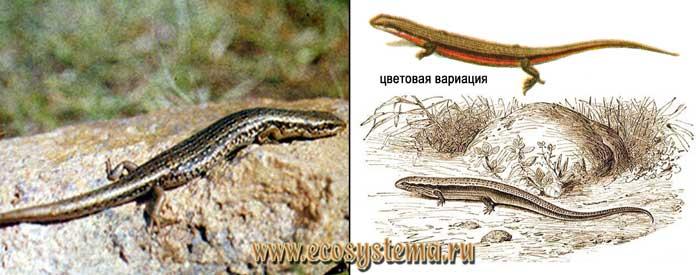 Азиатский гологлаз - Ablepharus pannonicus